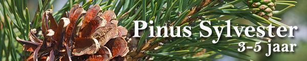 Pinus sylvester boomschors kopen belgie